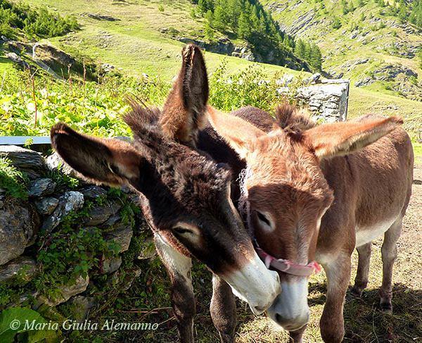 donkeys-in-germanasca-valley-copy